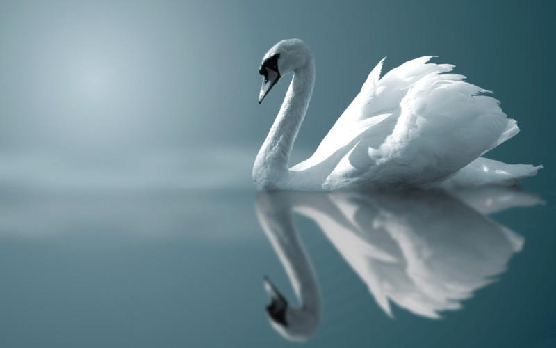 swan_6.jpg