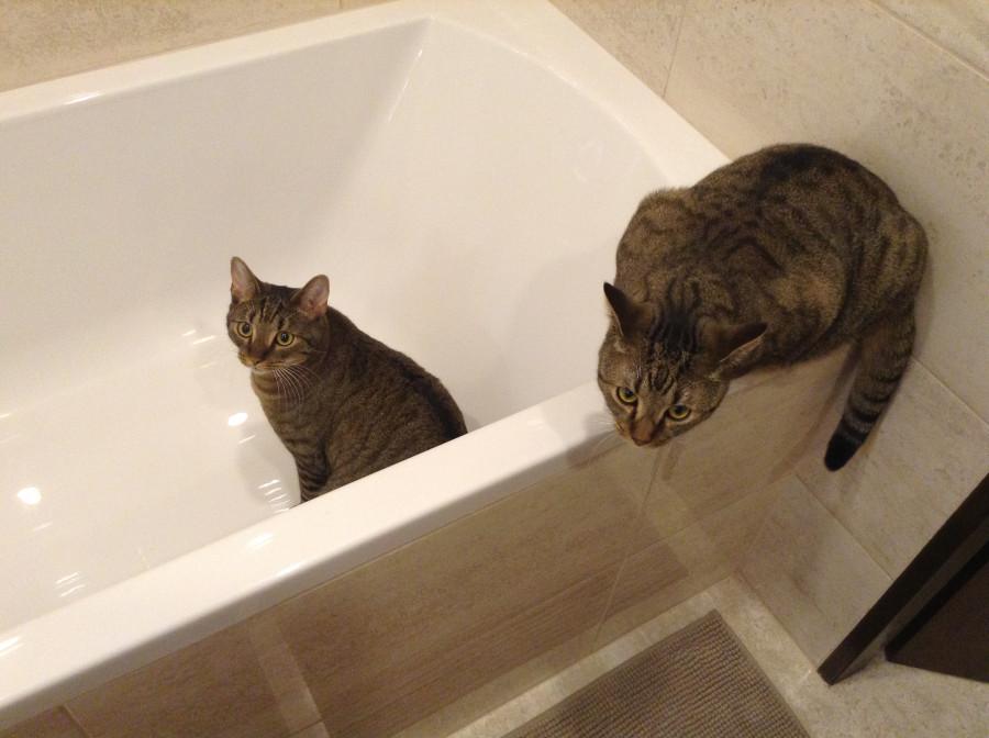 Котам тоже надо брать ванны
