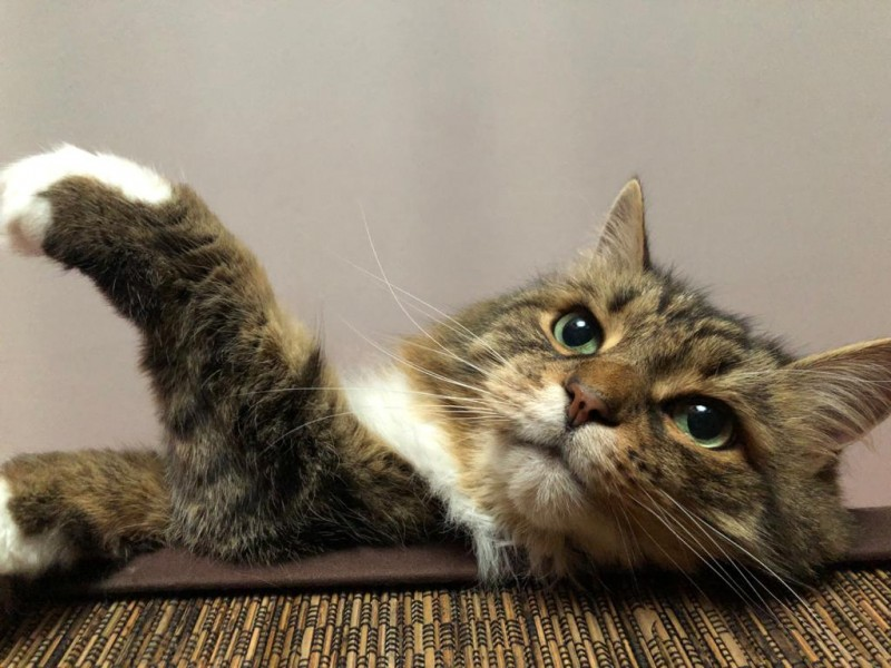 Довольный московский котик