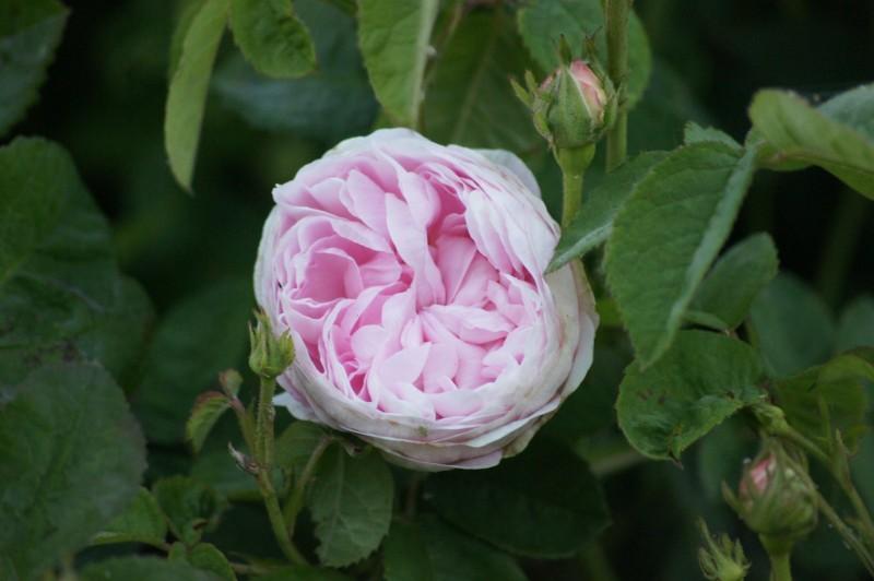 Rose de Schelfhout