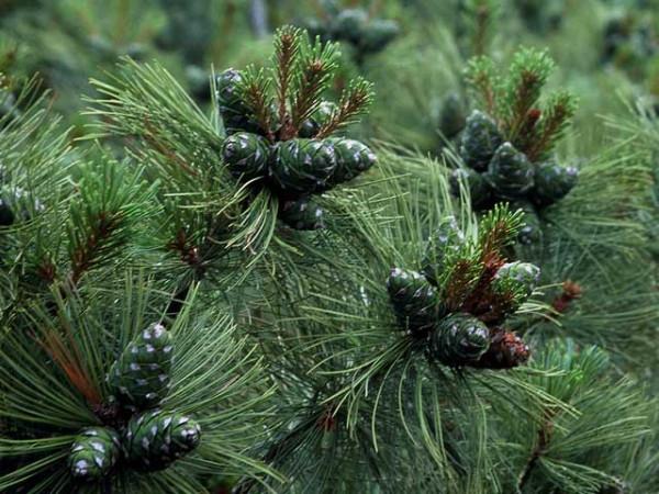 Pinus_pumila1