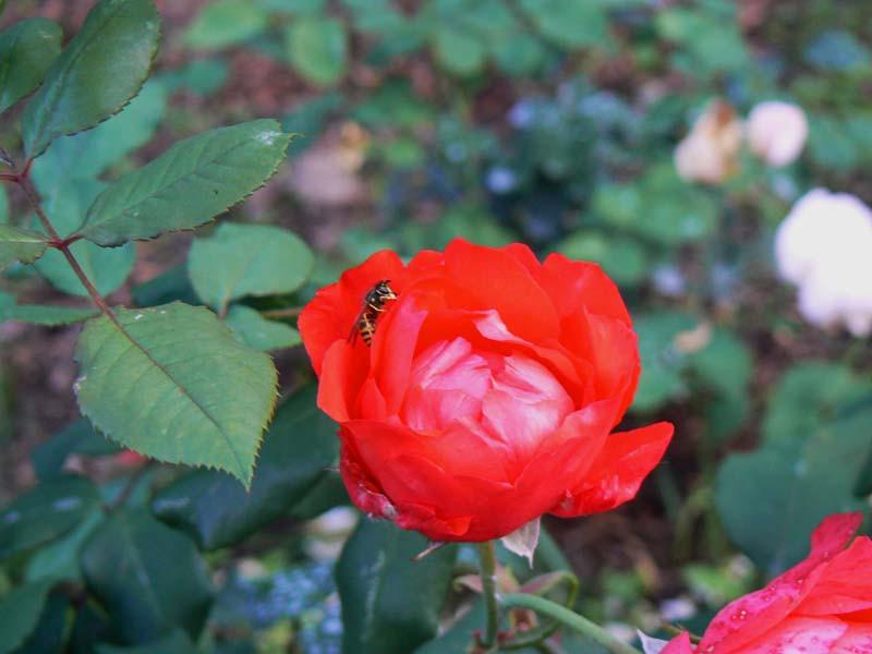 английская роза