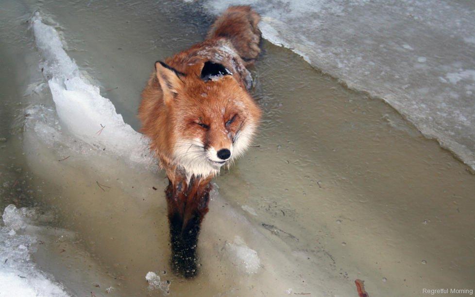 frozen-foxes-1