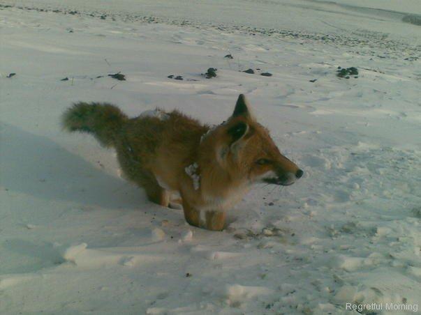 frozen-foxes-4