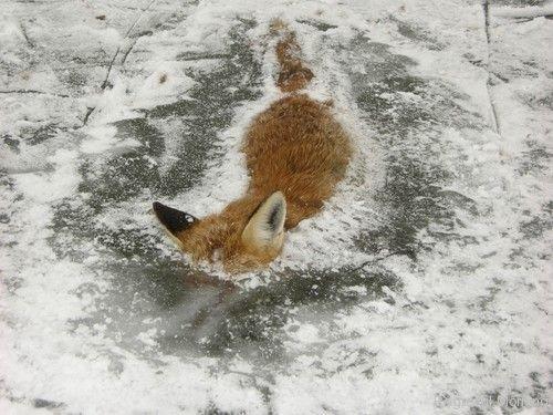 frozen-foxes-5