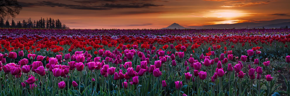 tulips08