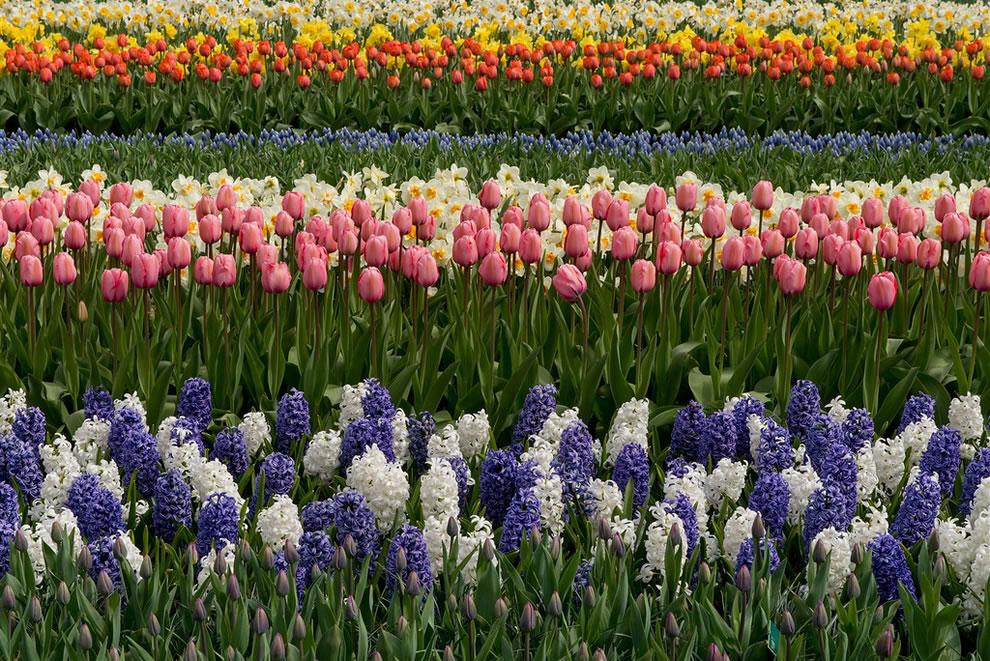 tulips12