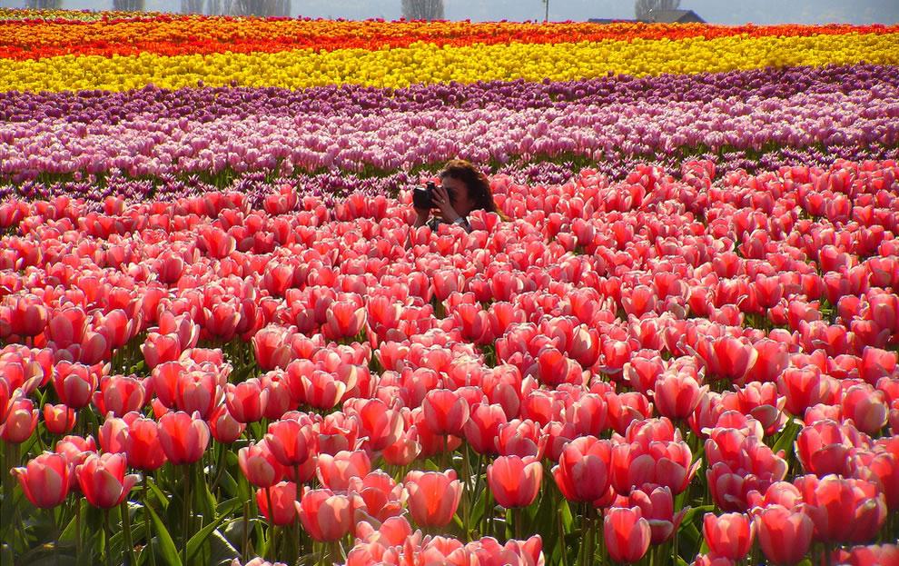tulips14