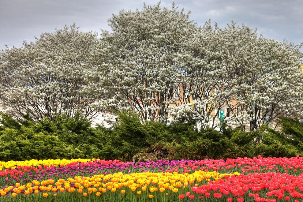 tulips16