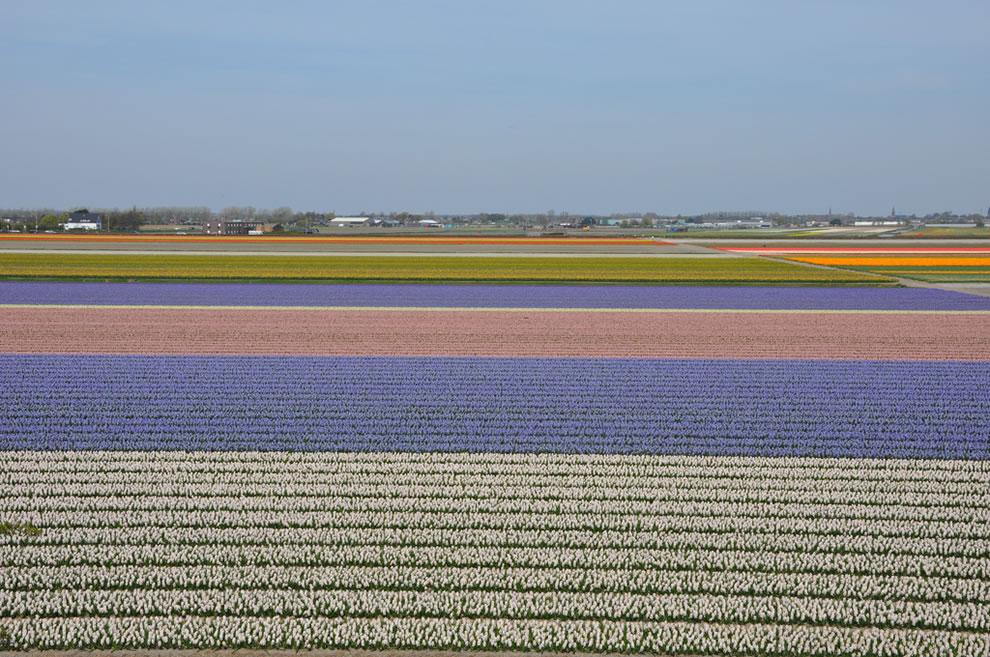 tulips25