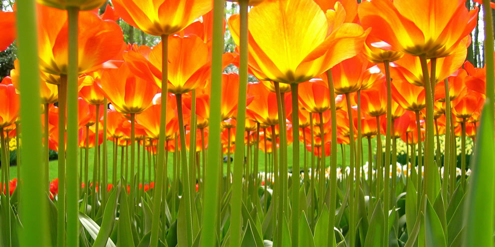 tulips32