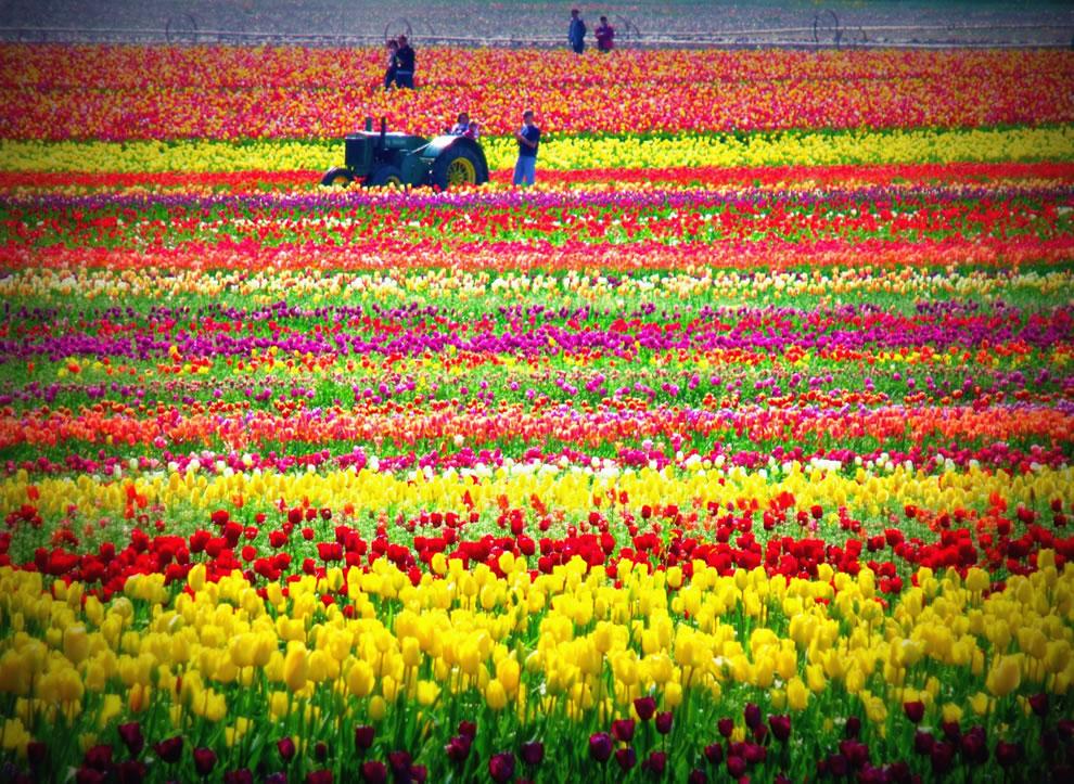 tulips34