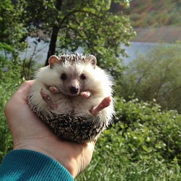 hedgehog-001-06162013