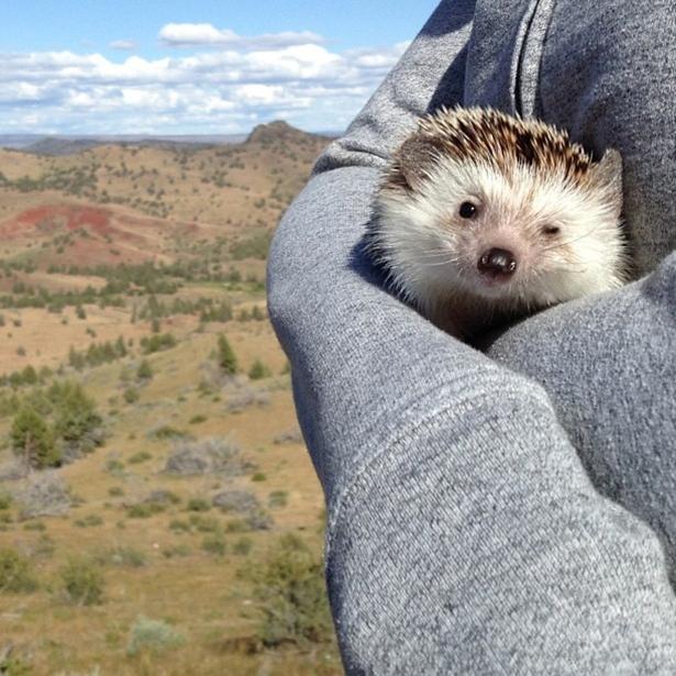 hedgehog-003-06162013