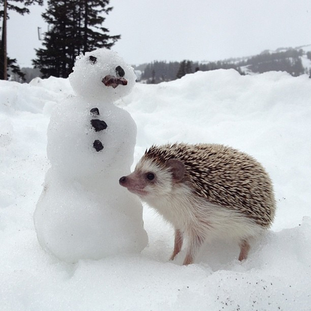 hedgehog-006-06162013
