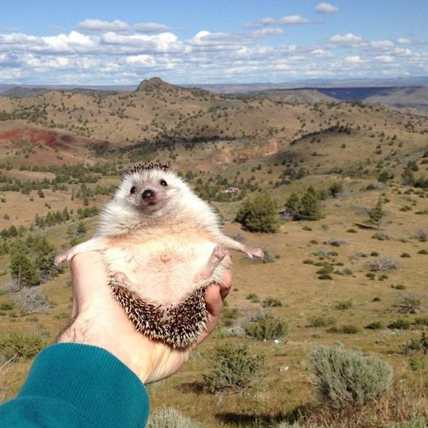 hedgehog-009-06162013