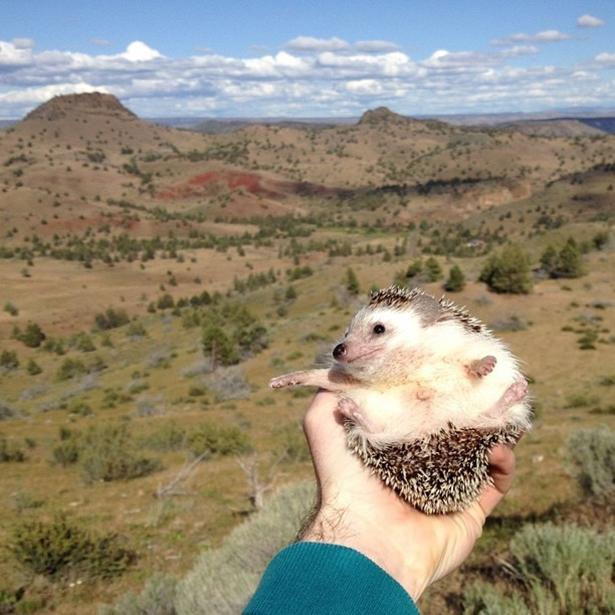 hedgehog-010-06162013
