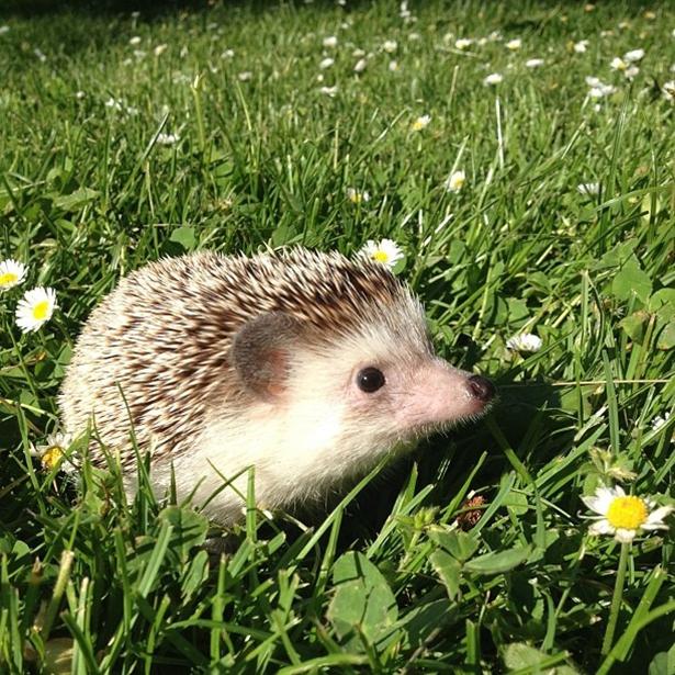 hedgehog-011-06162013