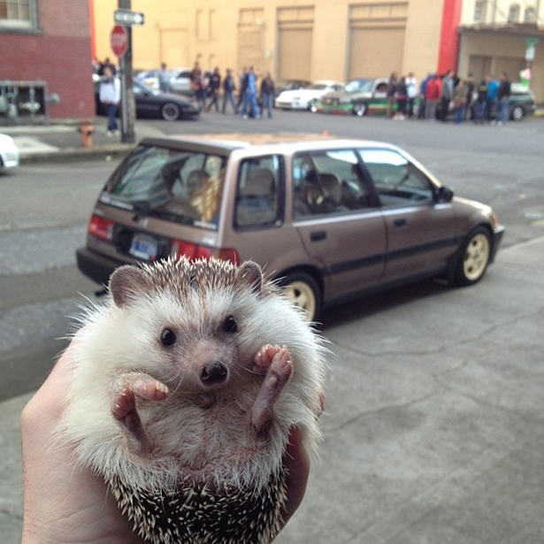 hedgehog-013-06162013