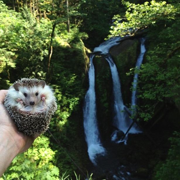 hedgehog-015-06162013