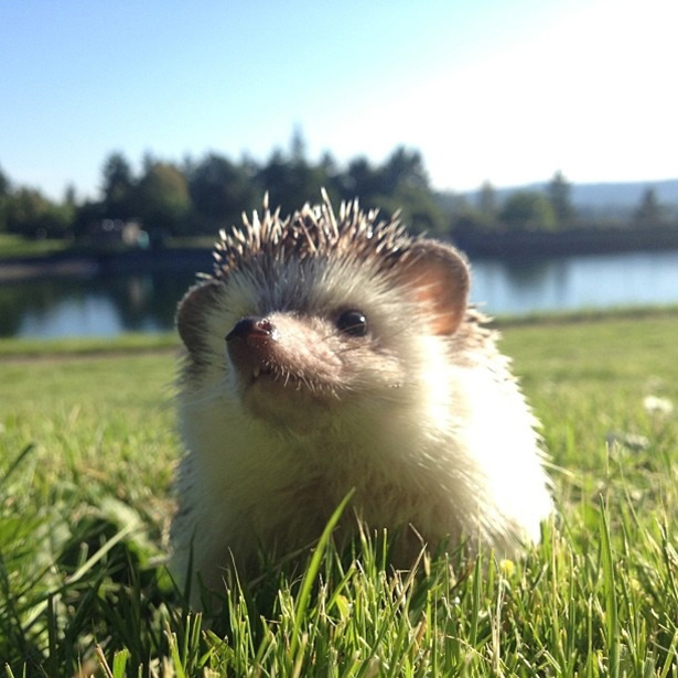 hedgehog-016-06162013