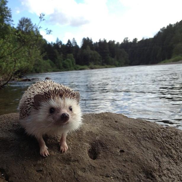 hedgehog-019-06162013