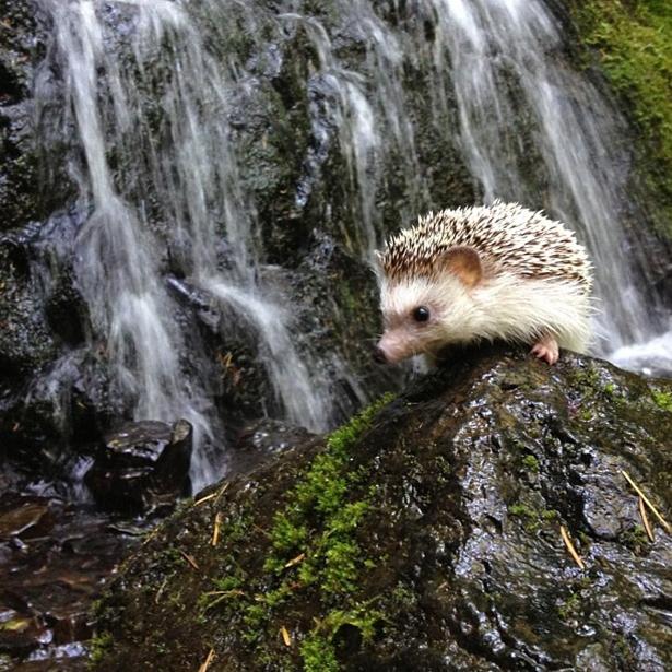 hedgehog-021-06162013