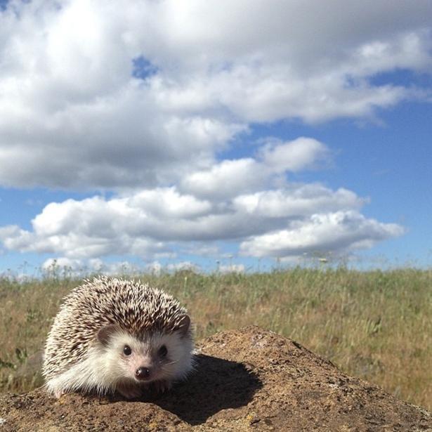 hedgehog-022-06162013