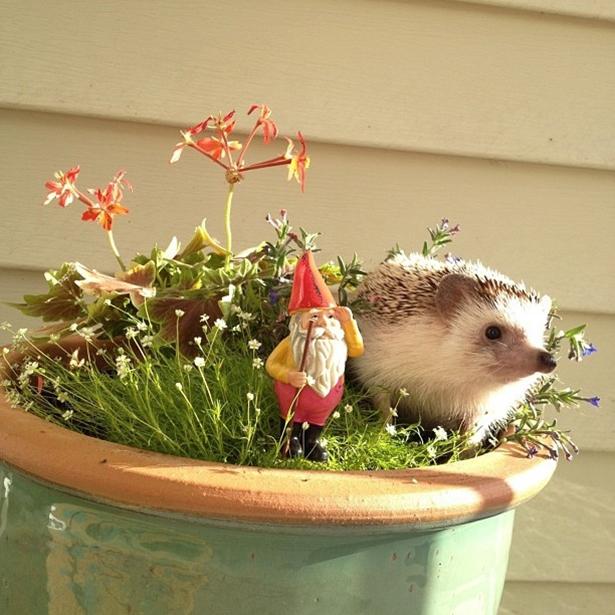 hedgehog-023-06162013