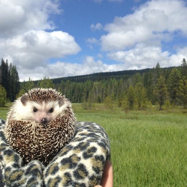 hedgehog-027-06162013