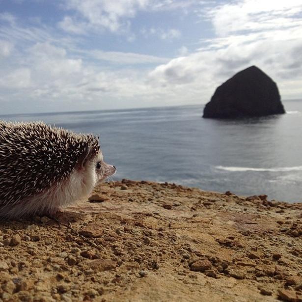hedgehog-025-06162013