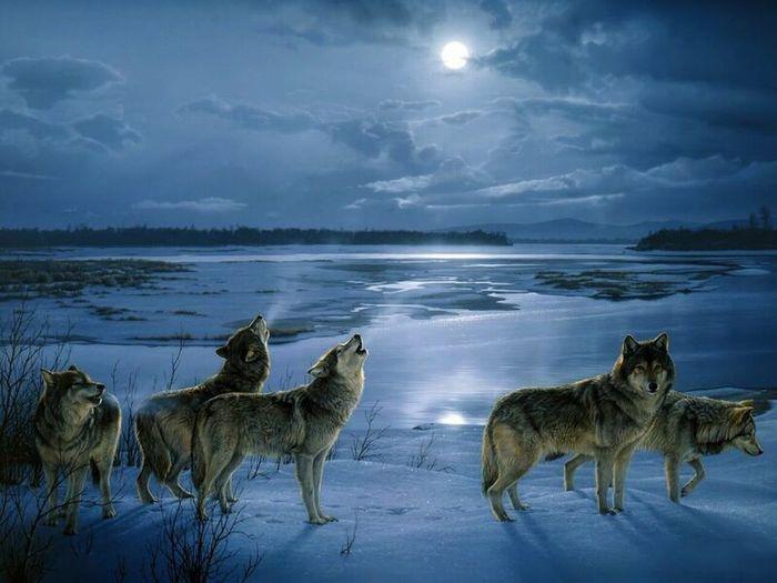 волков воющих на луну