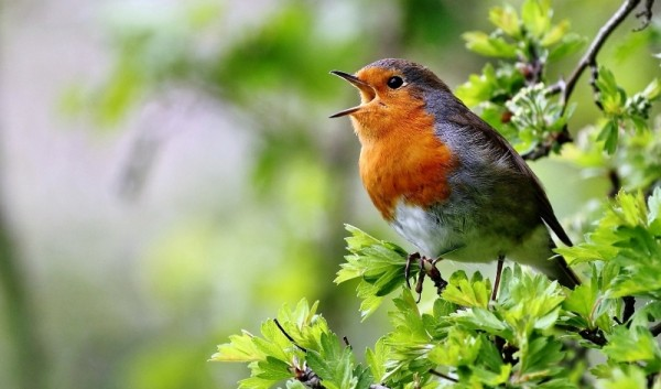 О птицах, которые будят нас по утрам...