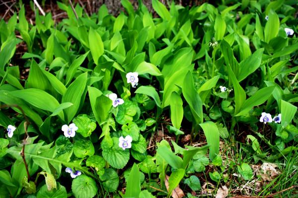 Violets Spring 2015