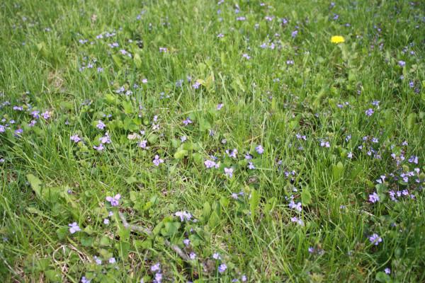 Violets 3 Spring 2015