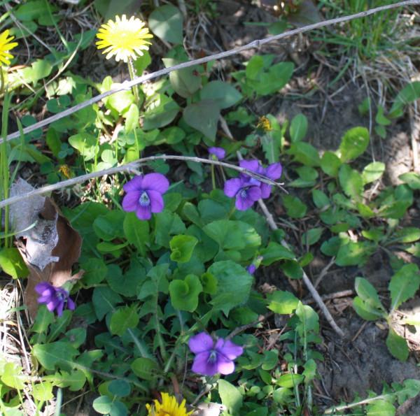 Violets 5 Spring 2015