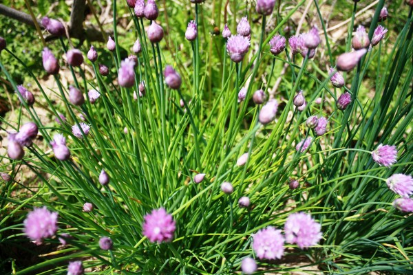 Chives Spring 2015