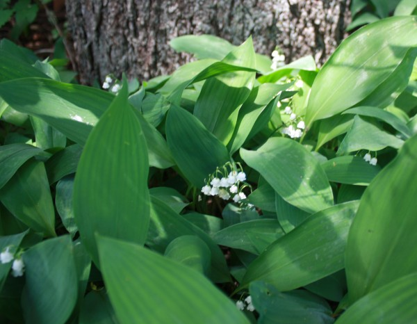 Lily of the Valley Spring 2015