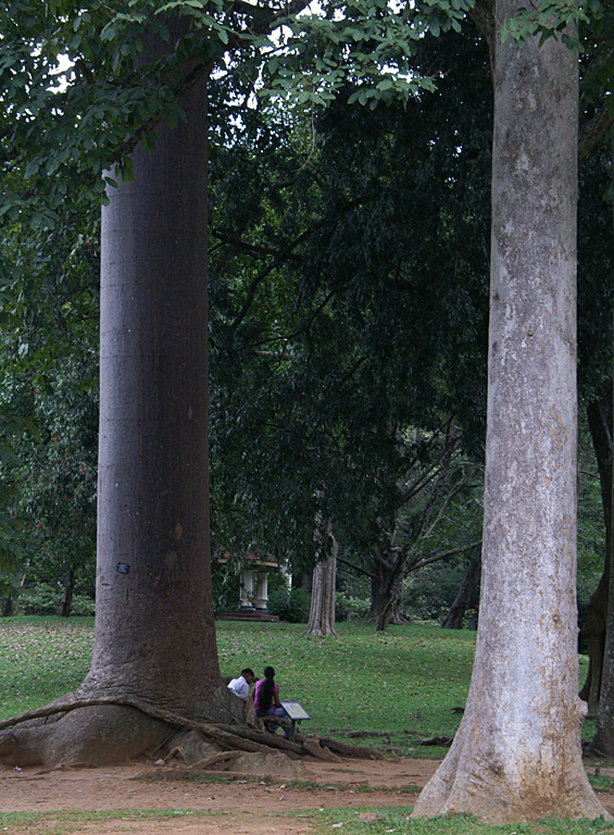 А это, кажется, железное дерево. Говорят, действительно очень прочное и плотное, в воде тонет запросто.