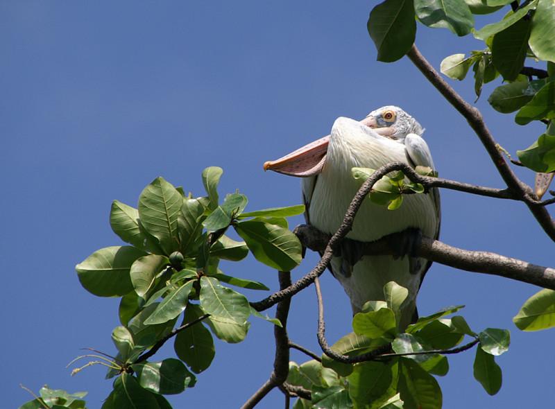 По-моему, он что-то на кого-то затаил :). Если бы не знать про некоторые мерзкие повадки пеликанов, вроде привычки есть птенцов чужих птиц... так-то они хороши. И даже аэродинамически изящны :).