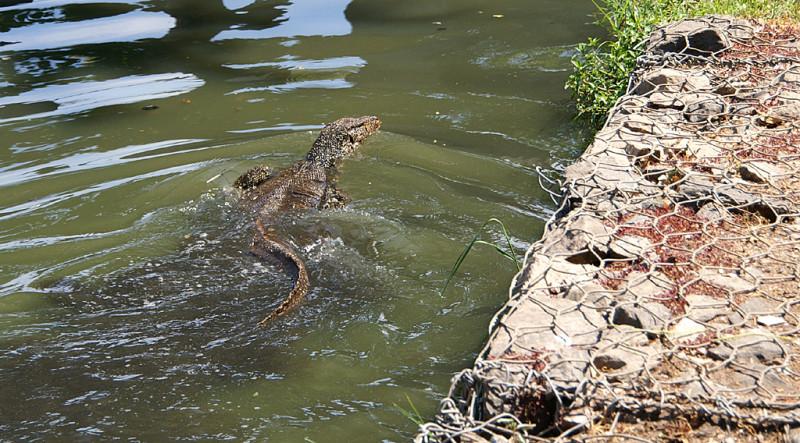 """Картинка не передаёт масштаб — эта ящерица с меня ростом. И, возможно, весом. Снято в пресноводном пруду в Коломбо, причём пруд """"хозяйственно-бытовой"""", не в парке. И вылезло это существо у меня на глазах из канализационной трубы, которая в тот пруд выходит."""