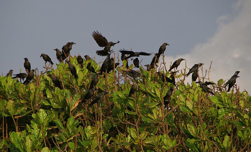 Коломбийские вороны :). То, что не съедают крыланы, доедают эти ребята :).