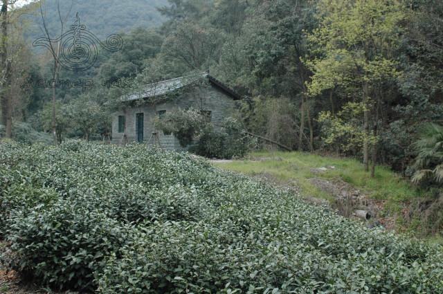 ферма_лунцзина, Хангчжоу, путешествие с мастером Чая