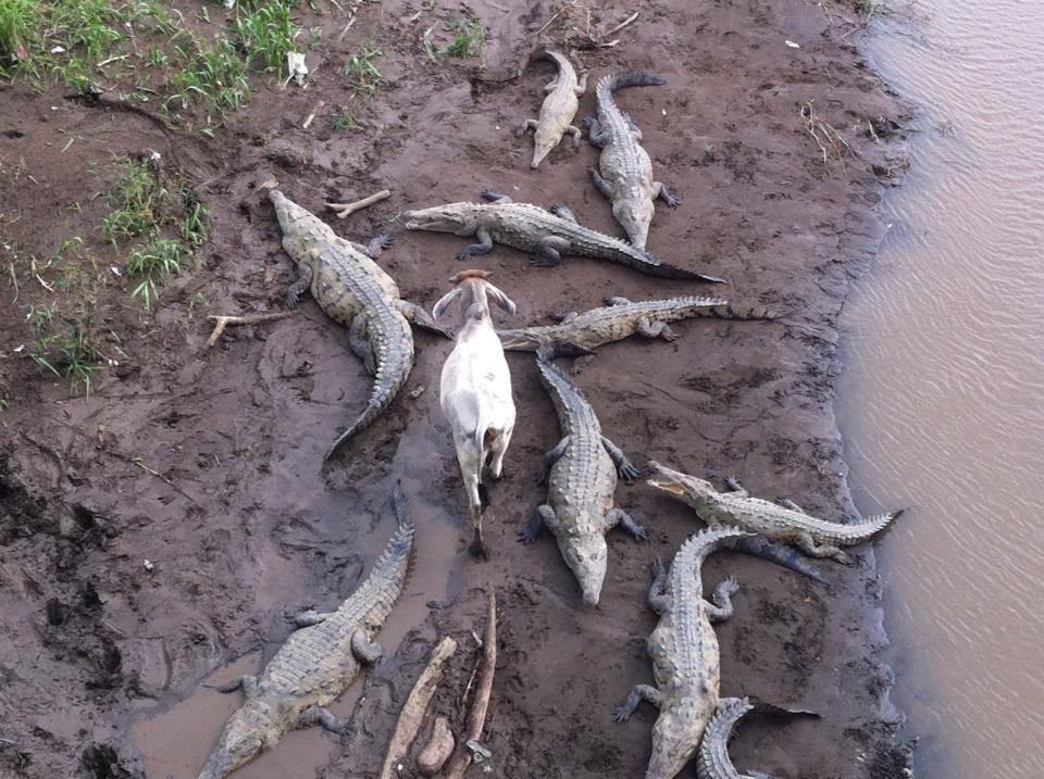 Так корова или коза?