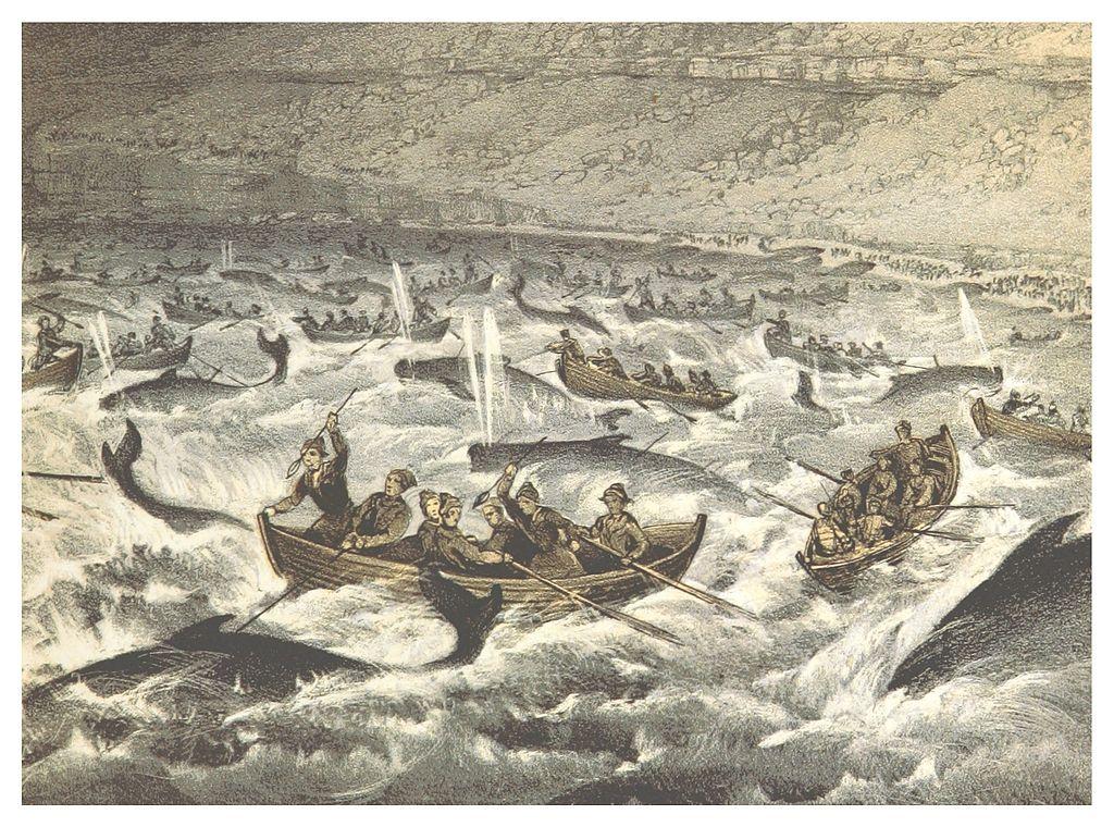 Калдеронских дельфинов гринды