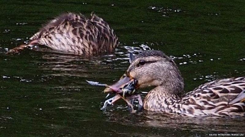 Дикие утки поедают других птиц!