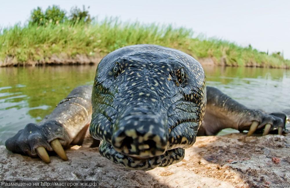 soft-shelled-turtle-trionychoidea (Копировать)