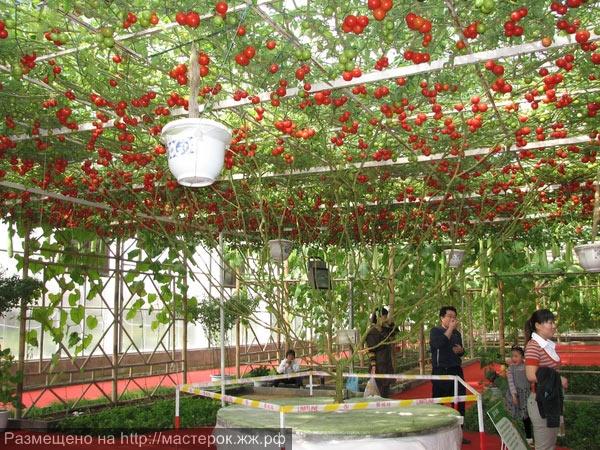 591_pomidornoe-derevo2 (Копировать)