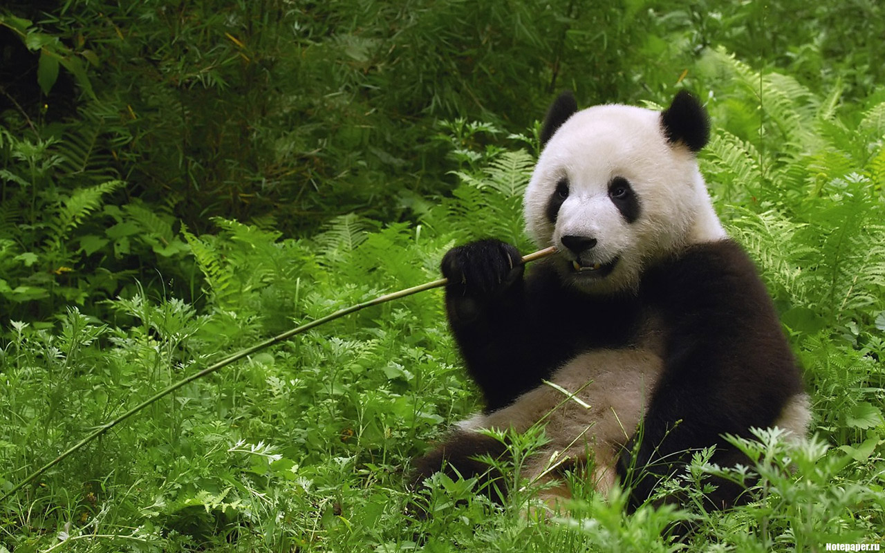 Почему панды чёрно-белые?