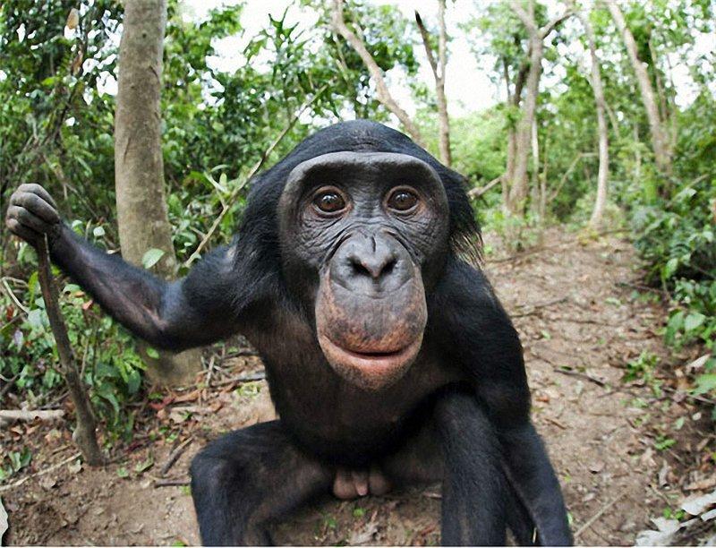 Обезьяны бонобо размножение секс